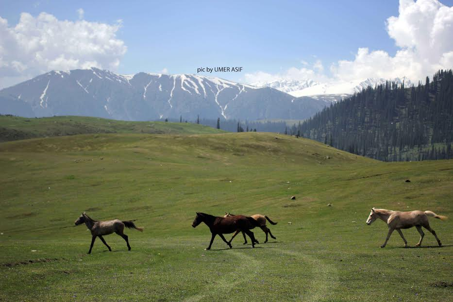 Horses moving towards habitat in picturesque Tosamaidan, the land which was on lease to Army for fifty years in Central Kashmir's Budgam district on Sunday. (Pic by Umer Asif, KNS)