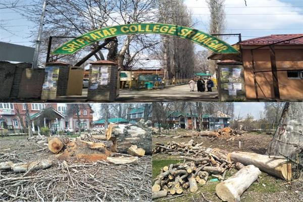 Chinar heritage removed in heritage S P College