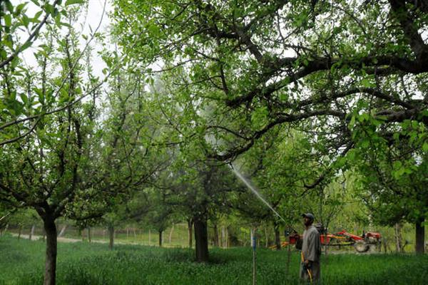'Unusual' rain in Kashmir worries farmers, fruit growers
