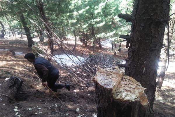 Forest officials hand in glove with timber smugglers in Bandipora