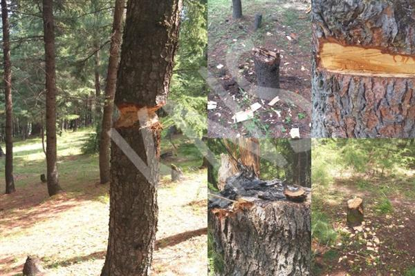 Timber smuggling goes unabated in Rajwar forests, officials assure action