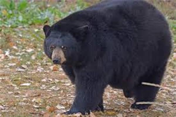 Bear Caught  in Tangmarg